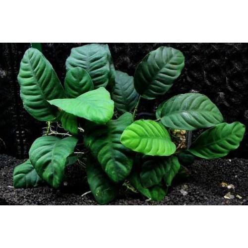 Анубиас кофефолия (Anubias barteri var. coffeefolia)