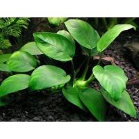 Анубиас бартера широколистный (Anubias barteri var. barteri)