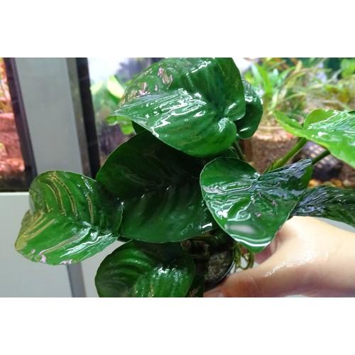 Анубиас бартери бабочка (Anubias barteri butterfly)