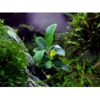Bucephalandra sp. brownie rhyme