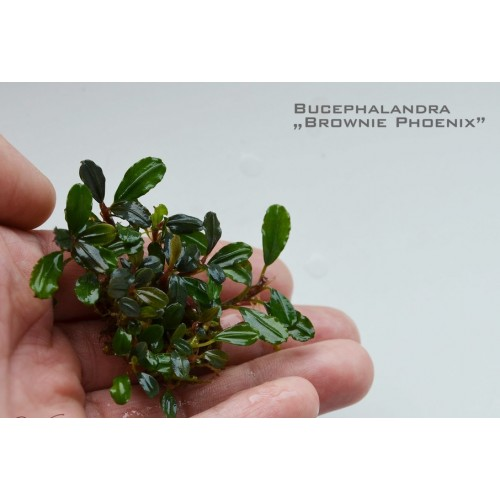 Bucephalandra brownie phoenix