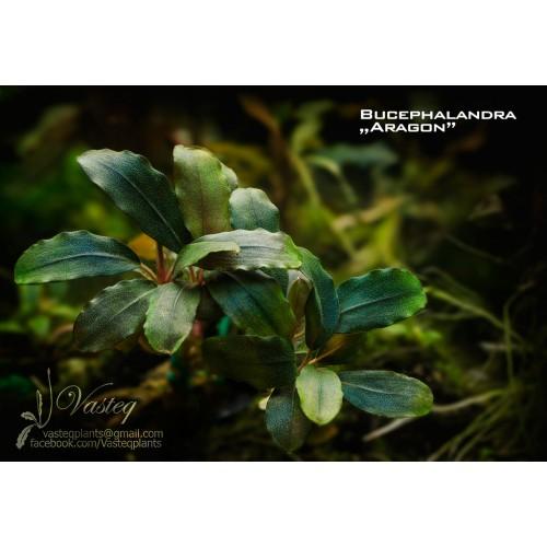 Bucephalandra sp. Aragon
