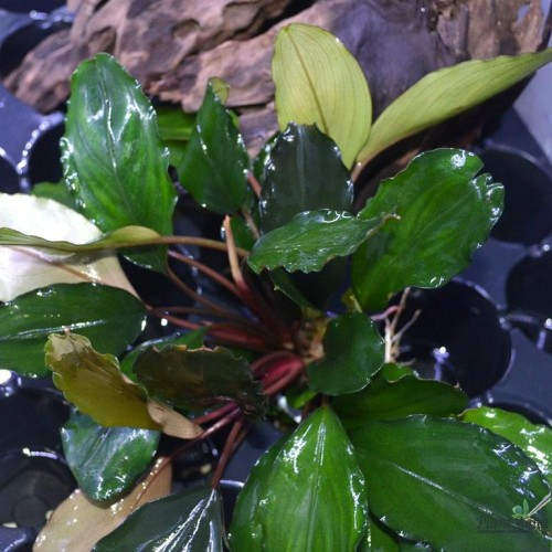Bucephalandra green broad leaf