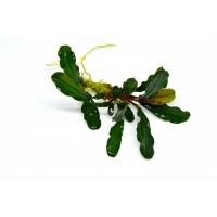 Bucephalandra wavy dark green