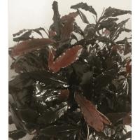 Bucephalandra motleyana (Brown leaf)