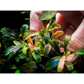 Bucephalandra sp. Cherish 3.