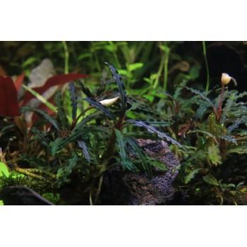 Bucephalandra sp.Catherine Red
