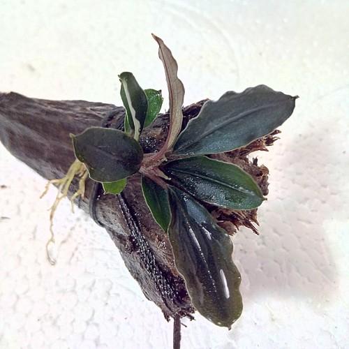 Bucephalandra sp. Red Mini