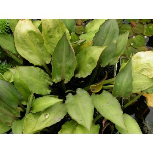 Криптокорина понтедериеволистная (Cryptocoryne pontederiifolia)