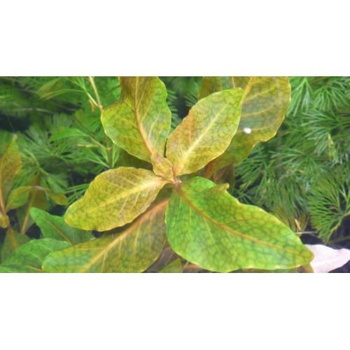 Гигрофила коричневая (Hygrophila Brown) (Пучок 5 веток)