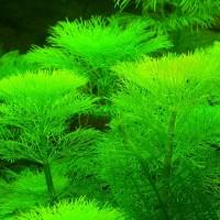 Амбулия (Limnophila aquatica)