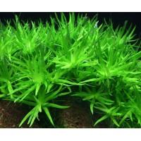 Гетерантера остролистная (Heteranthera zosterifolia) ( 5 веток)