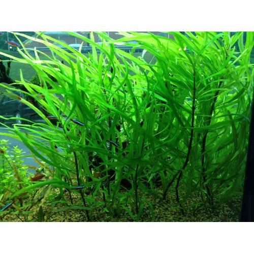 Гигрофила иволистная (Hygrophila corymbosa angustifolia) (3 ветки)