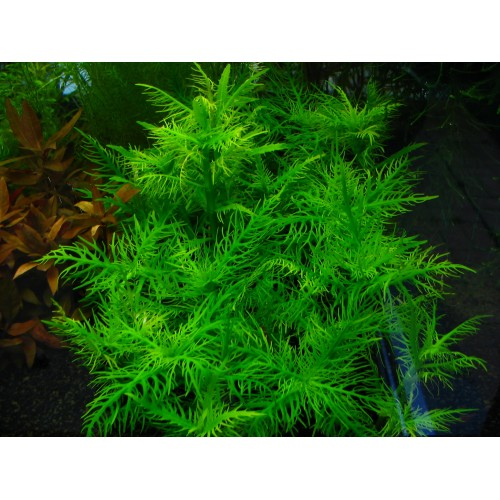 Гигрофила бальзамика (Hygrophila balsamica) (Пучок 3 веток)