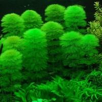Кабомба водная или обыкновенная (Cabomba aquatica)