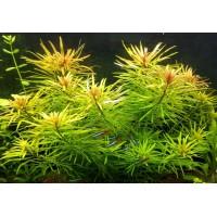 Людвигия Кубинская (Ludwigia Inclinata var. verticillata Cuba)