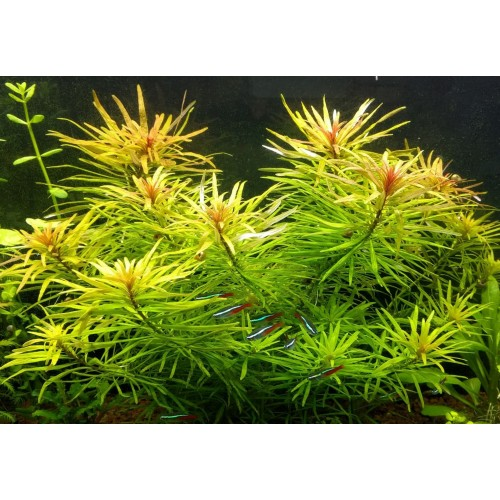 Людвигия Кубинская (Ludwigia Inclinata var. verticillata Cuba) (Пучок 3 ветки)