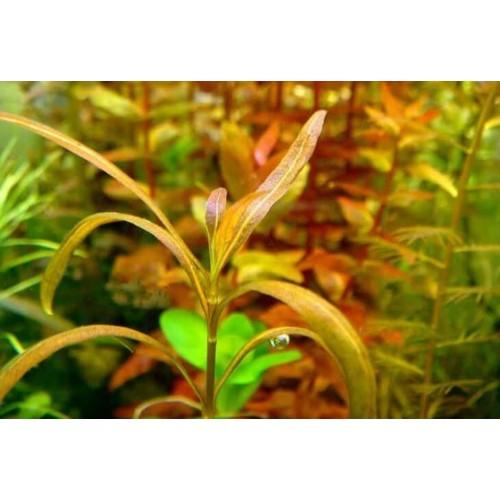 Гигрофила Змея (Hygrophila sp. Snake)