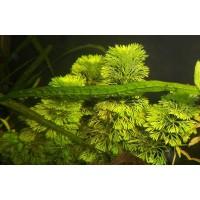 Лимнофила Сидячецветковая (Limnophila sessiliflora) (7 веток)