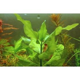 Гимнокоронис спилантоидес (Gymnocoronis spilanthoides)