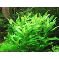 Лимнофила Пункта Блюм (Limnophila Punctata Blume) ( 3 ветки)