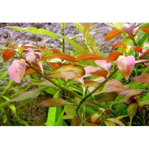 Людвигия Вариегата (Ludwigia palustris Variegated)