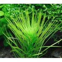 Гидротрихе или гидротрих (Hydrotriche hottoniiflora)