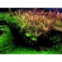 Людвигия дугообразная, аркуата (Ludwigia arcuata)