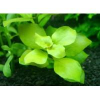 Людвигия Зелёная (Ludwigia palustris Green)