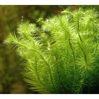 Майака речная (Mayaca fluviatilis)  ( 10 веток)