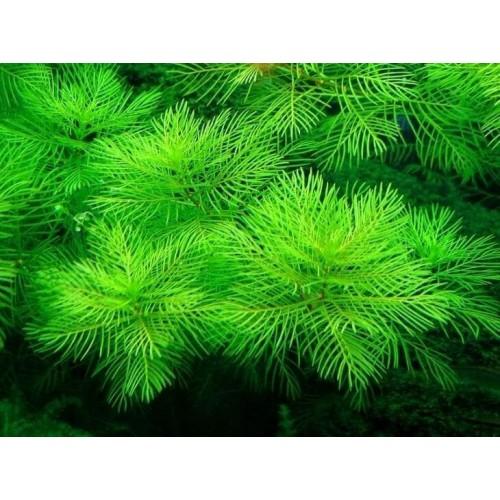 Перистолистник матогорсский зеленый (Myriophyllum matogrossense Green) ( 5 веток)