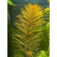 Перистолистник Рорайма (Myriophyllum sp. Roraima) ( 3 ветки)