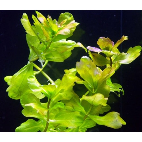 Мексиканский дубок (Shinnersia rivularis)