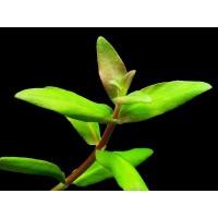 Низея Трифлора (Nesaea Triflora)