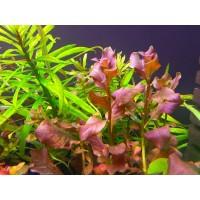 Людвигия Овальная Розовая (Ludwigia Ovalis Pink) (пучок 5 веток)