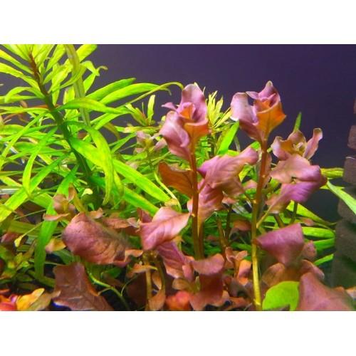 Людвигия Овальная Розовая (Ludwigia Ovalis Pink)