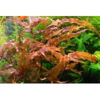 Мурдания красная (Murdannia sp. red)