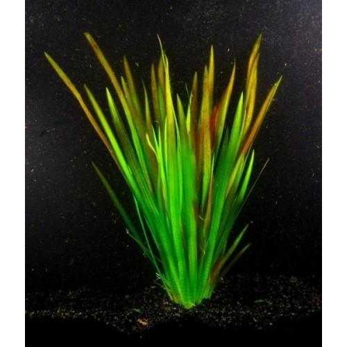 Валлиснерия rubra (Vallisneria rubra)