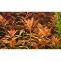 Прозерпинака болотная (Proserpinaca palustris)