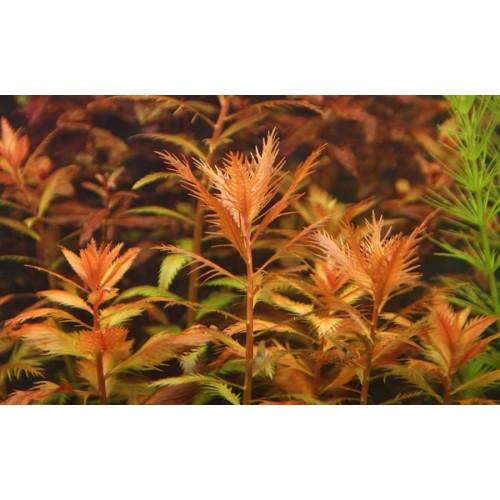 Прозерпинака болотная (Proserpinaca palustris) (пучек 3 ветки)