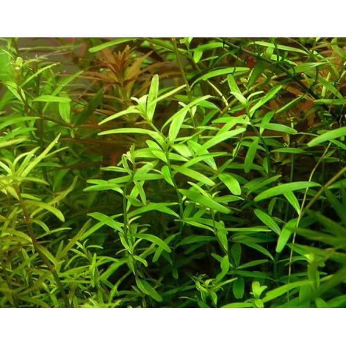Ротала Цейлон (Rotala sp. Ceylon)