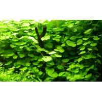 Щитолист белоголовый (Hydrocotyle leucocephala)