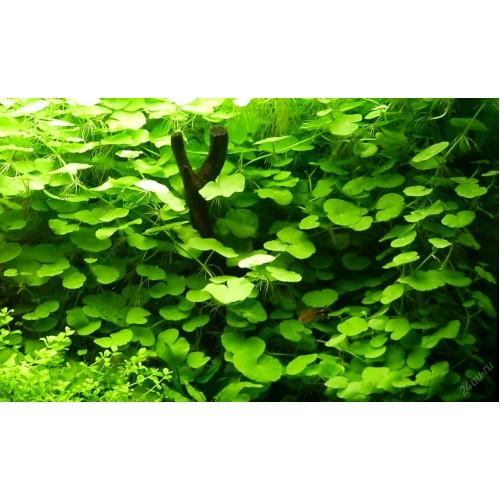 Щитолист белоголовый (Hydrocotyle leucocephala) ( 3 ветки)