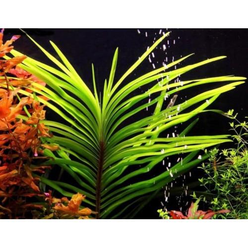 Эйхорния лазоревая или Эйхорния водная (Eichhornia azurea, eichhornia aquatica) (пучок 3 ветки)
