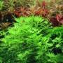 Хотония палюстрис (Hottonia palustris) (Пучок 5 веток)
