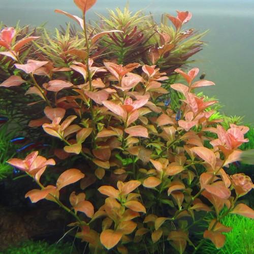Людвиггия овальная (Ludwigia ovalis)
