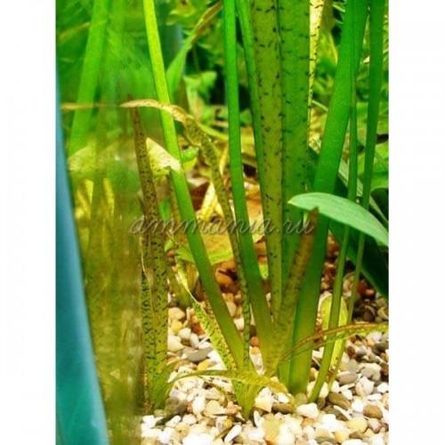 Валлиснерия тигровая (Vallisneria spiralis var. spiralis Tiger) 5 веток