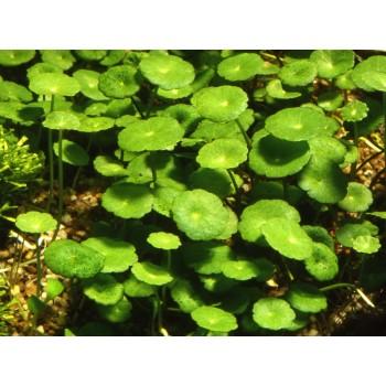 Гидрокотила вертикальная или Щитолистник мутовчатый (Hydrocotyle verticillata)