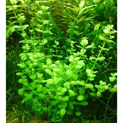 Линдерния мелкоцветковая (Lindernia parviflora)