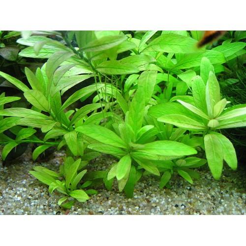 Гигрофила многосеменная (Hygrophila polysperma) (пучок 5 веток)